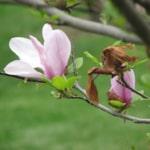 Emily Nietzel - Elementary School - Magnolia tree