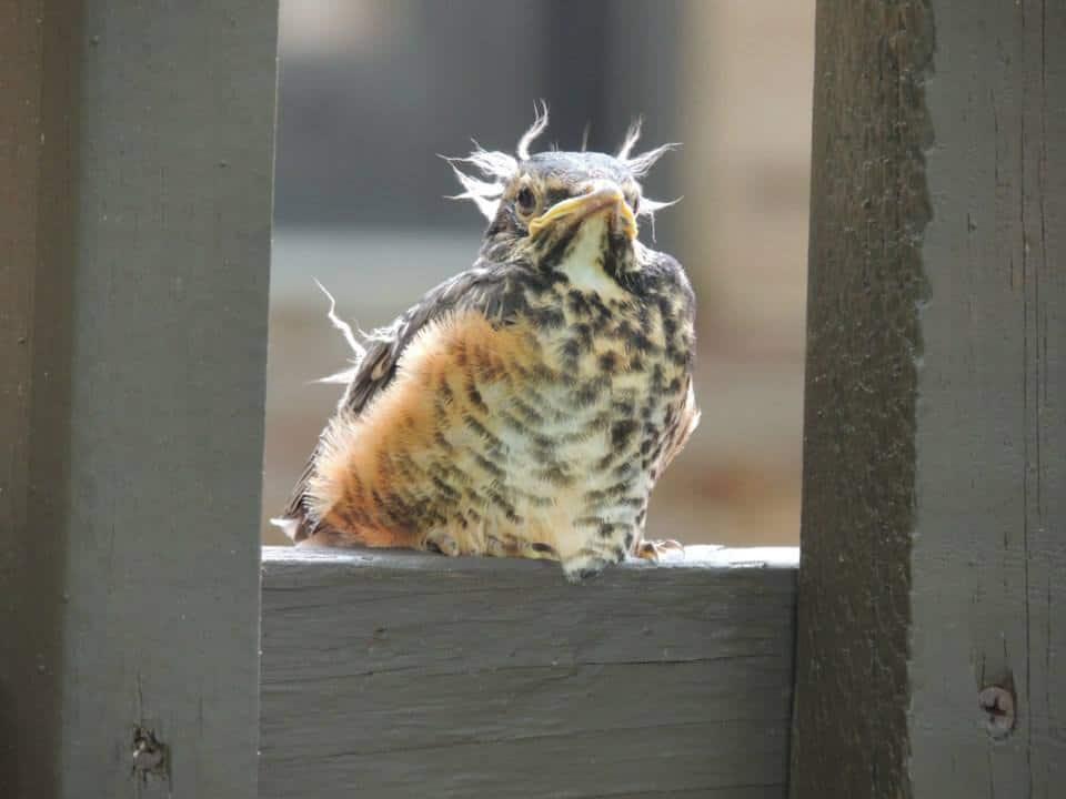 A baby robin