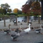 Linda Kelty geese